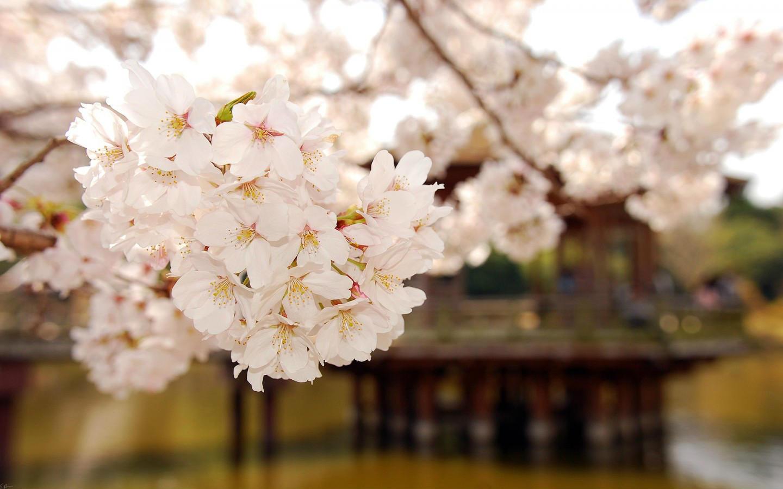樱花唯美意境壁纸