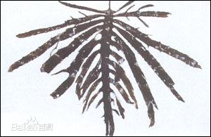 中国的昆布标本