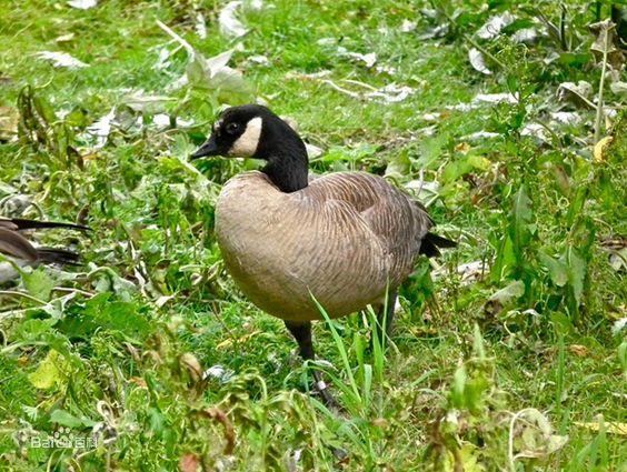 加拿大黑雁阿留申群岛亚种