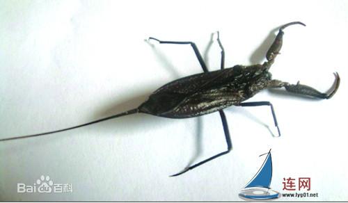水蝎子图片 百度百科