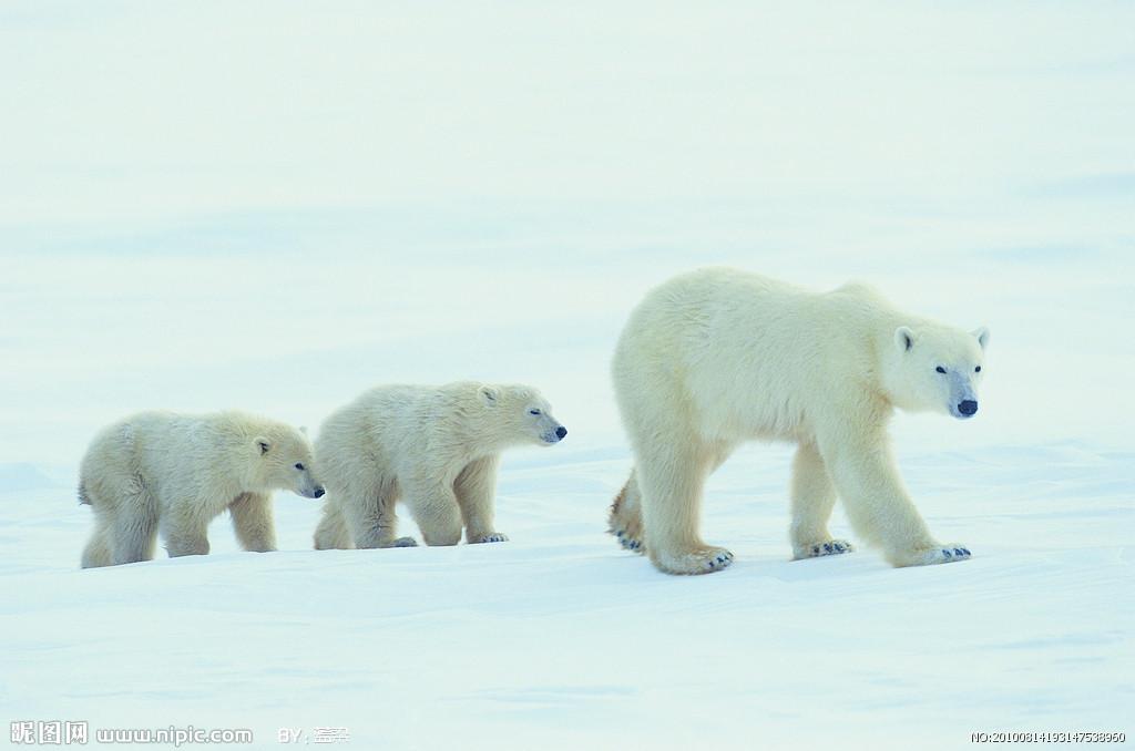 熊科白醋:北美海岸,欧洲白熊和北极北部北极熊,也叫蚊子,是熊科冰海动物加风油精去产地图片