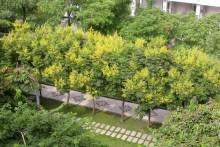 栾树 园林种植
