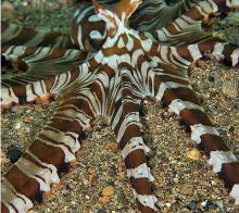 拟态章鱼特写