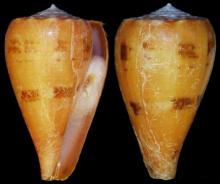 阿朗戈芋螺
