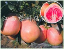 三红蜜柚种植园