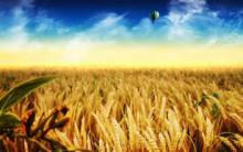 金灿灿的小麦