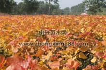 金红杨夏季颜色