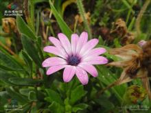 南非万寿菊