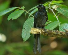 大盘尾苏门答腊亚种