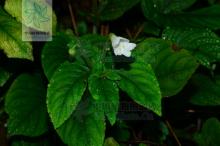 白花异叶苣苔