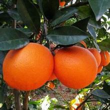 福本脐橙果