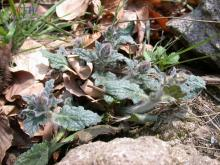 筋骨草亚科植物
