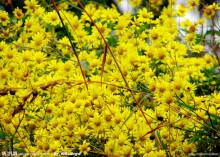 杭菊花形态图片