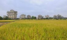 台山水稻种植基地