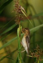 黄胸织布鸟