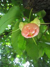 肖蒲桃族植物图片
