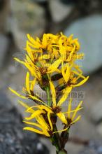 黄亮橐吾的花序