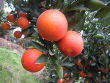 江西血橙种植园