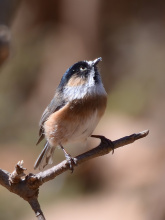 黑眉长尾山雀|3|43孕妇与猫弓形虫图片