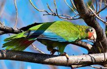 开曼岛鹦鹉