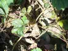 草莓拟滑刃线虫危害