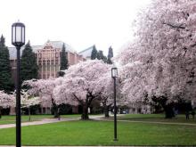 华盛顿大学樱花