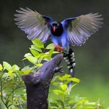 台湾蓝鹊飞翔图集