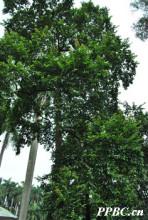 斯里兰卡天料木 Homalium