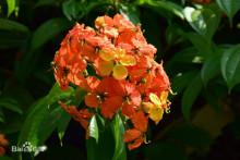 橙羊蹄甲藤花果