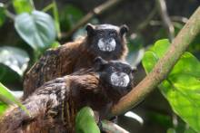 棕须柽柳猴