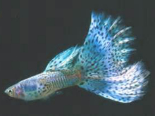 银河孔雀鱼(Guppy Galaxy)
