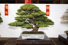 翠米茶盆景图片均来自台湾盆景论坛