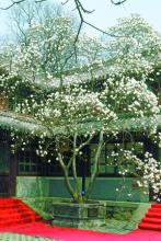 80多年过去了八大处的玉兰花依然绽放