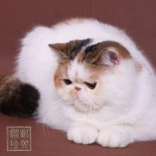 异国短毛猫图片