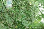 光叶槭花果