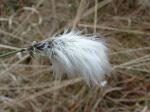 白毛羊胡子草