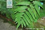 百越凤尾蕨枝叶