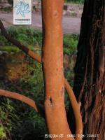 五柱滇山茶根茎