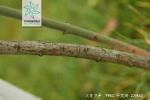 大花卫矛根茎