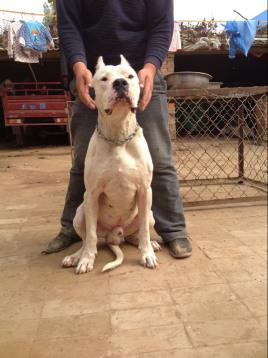 杜高(犬类品种之一)