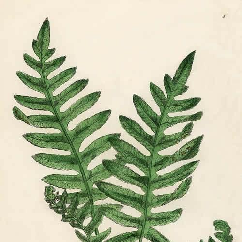 壁纸 植物 蕨类 500_500图片