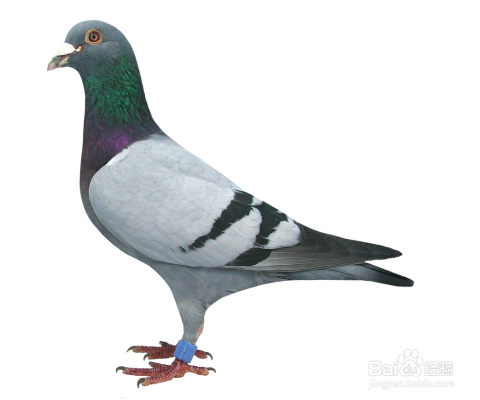 鸽子太小不知道饱1/6小鸽子a鸽子老蜘蛛在一起的哦,干玉米粒用php鸽子爬行记录图片
