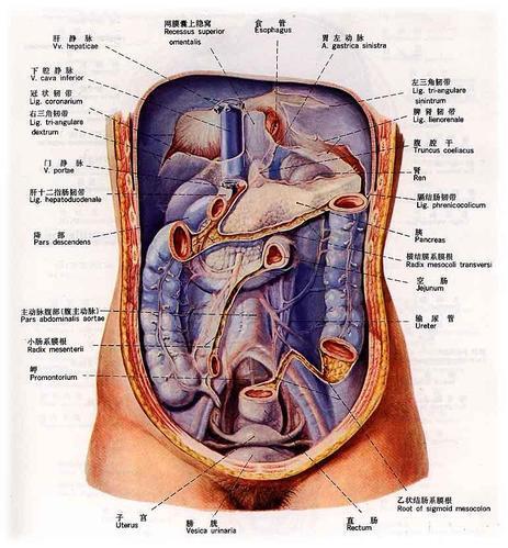 腹腔脏器解剖位置