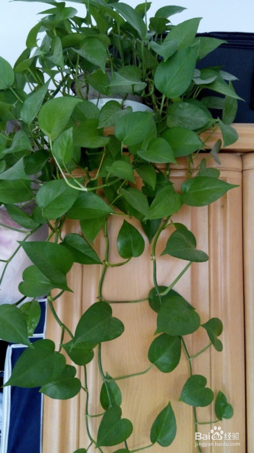 绿萝的繁殖及养殖