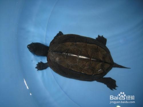 鉴别野生墨龟野生草龟大头墨黑色乌龟公草龟