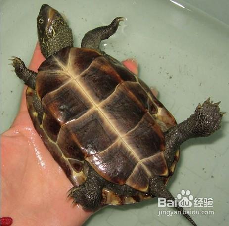 怎么分辨乌龟公母图片