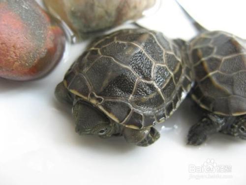 野生龟或者冬天乌龟比较好的冬眠方法