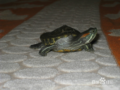 乌龟冬眠怎么养 龟冬眠步骤