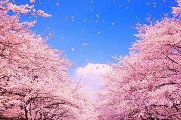 简易折纸樱花图片