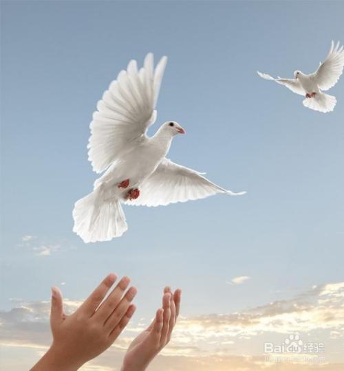 鸽子鸽鸟类鸟动物500_540周公解梦之梦见吃猴子图片